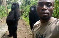 Ndakasi, gorila popular berswafoto kini sudah tiada