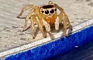 Labah-labah mirip gaya Elton John