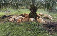 19 lembu mati bergelimpangan dipanah petir